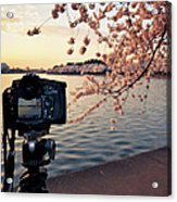 Shooting Cherry Blossoms In Washington Acrylic Print