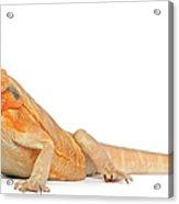 Silkbacks Scaleless Bearded Dragon Acrylic Print