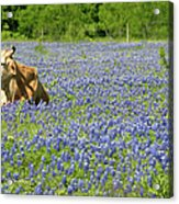 Single Cow Resting In A Field Of Texas Acrylic Print