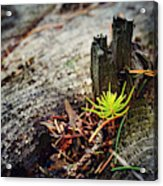 Small Spruce Growing On An Old Tree Stump Acrylic Print