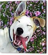 Smiling Dog Acrylic Print