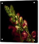Snapdragon In Red Acrylic Print