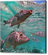 Snapper On Ningaloo Reef, Australia Acrylic Print