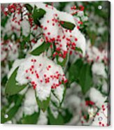 Snow Covered Winter Berries Acrylic Print