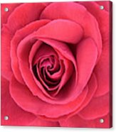 Soft Rose Acrylic Print