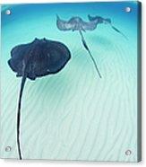 Southern Stingray Cayman Isalnds Acrylic Print