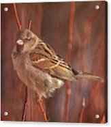 Sparrow In The Sunshine Acrylic Print
