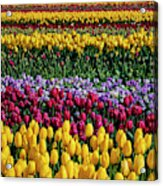 Spectacular Rows Of Colorful Tulips Acrylic Print