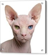 Sphynx Cat, 1 Year Old, In Front Of Acrylic Print