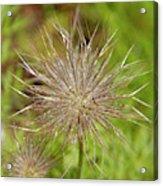 Spiky Plant Pulsatila Halleri Acrylic Print