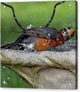 Splish-splash I Was Taking A Bath - American Robin Acrylic Print