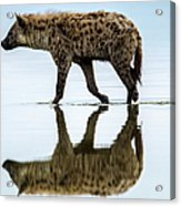 Spotted Hyena Looking For Weak Flamingos Acrylic Print