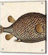 Spotted Trunk Fish  Acrylic Print