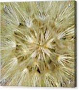 Dandelion Bloom Acrylic Print