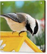 Spring Chickadee Acrylic Print