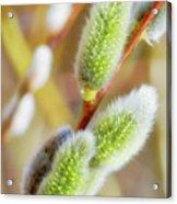 Spring Willow 4 Acrylic Print