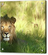 Staring Lion In Field Of Grass With Acrylic Print