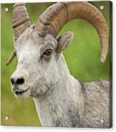 Stone's Sheep Ram Portrait Acrylic Print