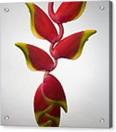 Studio Shot Of Hanging Red Lobster Claw Acrylic Print