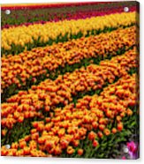 Stunning Rows Of Colorful Tulips Acrylic Print
