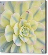 Succulent Aeonium Sunburst Acrylic Print