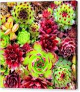 Succulent Garden Acrylic Print