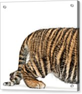 Sumatran Tiger Cub - Panthera Tigris Acrylic Print