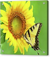 Sunflower And Swallowtail Acrylic Print