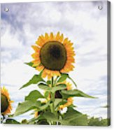Sunflower Days Acrylic Print