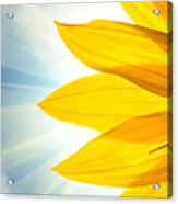 Sunflower Detail Isolated On White Acrylic Print
