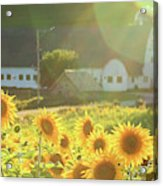 Sunflower Haze Acrylic Print
