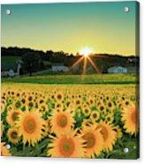 Sunflower Sunset Acrylic Print