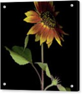 Sunflower With A View Acrylic Print