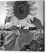 Sunflowers 10 Acrylic Print