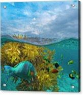 Surf Parrotfish, Damselfish And Basslet Acrylic Print