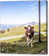 Swiss Cow Acrylic Print