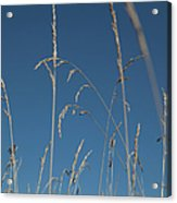 Tall Grasses Swaying Against A Blue Sky Acrylic Print