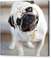 Tan & Black Pug Dog Tilting Head Acrylic Print