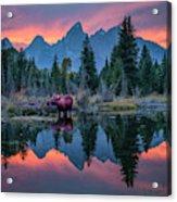 Teton Moose Acrylic Print