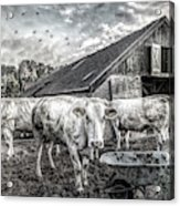 The Cows Came Home Black And White Acrylic Print