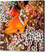 The Fiji Clownfish  Amphiprion Barberi Acrylic Print