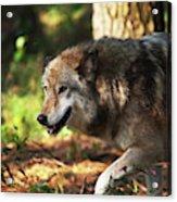 The Gray Wolf Acrylic Print