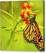 The Monarch Butterfly Acrylic Print