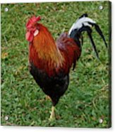 The Pose Of The Rooster Acrylic Print