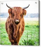 The Scottish Highlander Acrylic Print