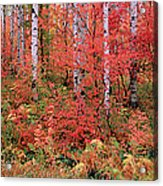 The Wasatch Mountain Forest Of Maple Acrylic Print