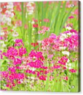 The World Laughs In Flowers - Primula Acrylic Print