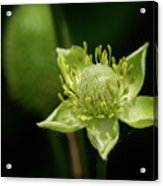 Thimbleweed Flower Acrylic Print