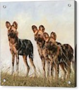 Three African Wild Dogs Acrylic Print