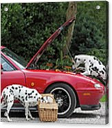 Three Dalmatians Around Red Sports Car Acrylic Print
